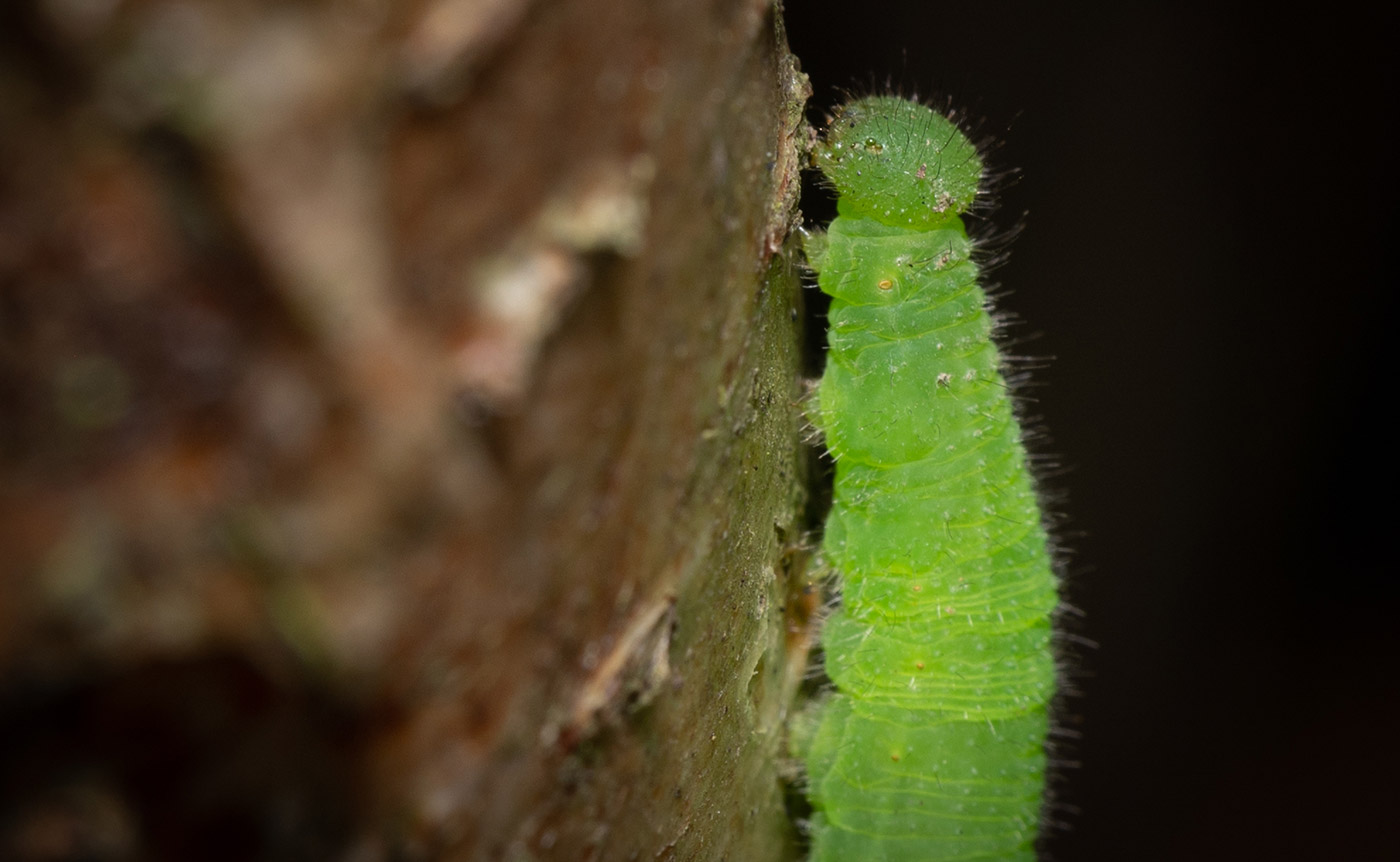 Speckled Wood Caterpillar